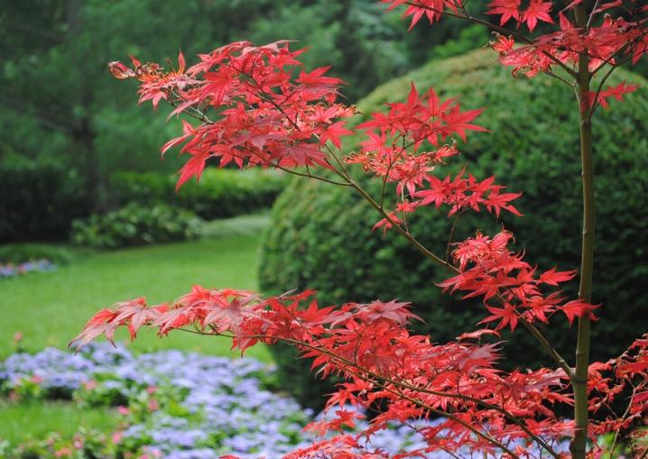 Laceleaf Japanese Maple: Full Care & Propagation Guide 3