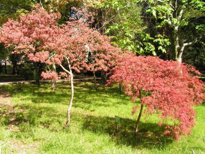 Laceleaf Japanese Maple: Full Care & Propagation Guide 17