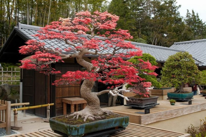 Laceleaf Japanese Maple: Full Care & Propagation Guide 28