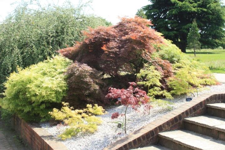 Laceleaf Japanese Maple: Full Care & Propagation Guide 30