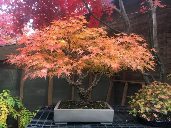 Laceleaf Japanese Maple: Full Care & Propagation Guide 33