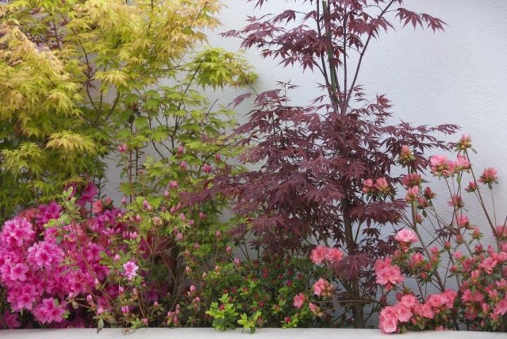 Laceleaf Japanese Maple: Full Care & Propagation Guide 34