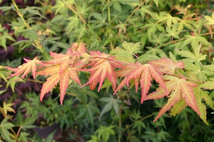 Laceleaf Japanese Maple: Full Care & Propagation Guide 6