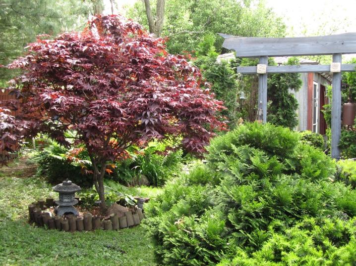 Laceleaf Japanese Maple: Full Care & Propagation Guide 7