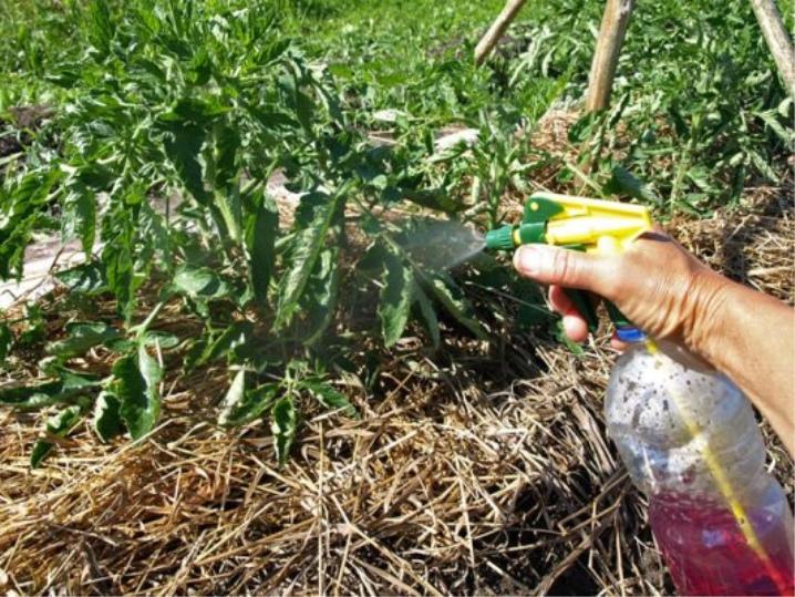 марганцовка для рассады помидор