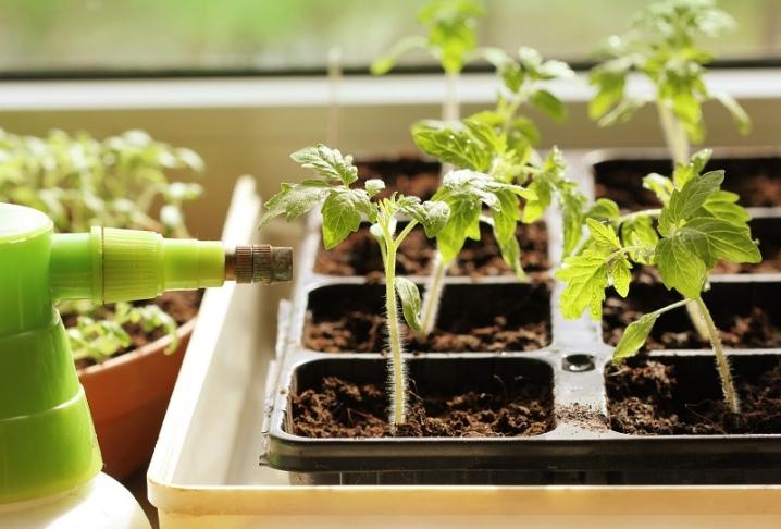 как правильно полить рассаду помидор янтарной кислотой