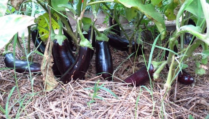 полив баклажанов в открытом грунте в жару
