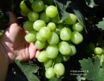 Виноград Айсар