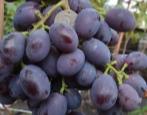 Виноград Алиса