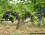 Виноград Альминский