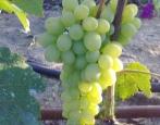 Виноград Ананасный ранний