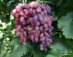 Виноград Ася
