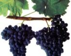 Виноград Бастардо магарачский