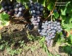 Виноград Бычий глаз (Сенсо)