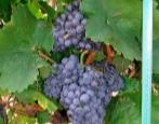 Виноград Черный Доктор
