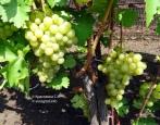 Виноград Довга