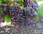 Виноград Фараон