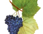 Виноград Качич