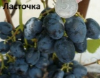 Виноград Ласточка