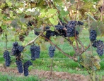 Виноград Леон Мийо
