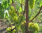 Виноград Московский Устойчивый