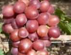 Виноград Пестрый