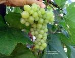 Виноград Золотце