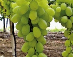 Виноград Афродита