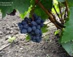 Виноград Черный Жемчуг