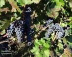 Виноград Цимлянский Черный