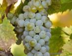 Виноград Цветочный