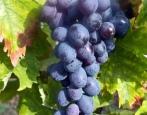 Виноград Мускат Гамбургский