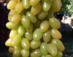 Виноград Мускат Летний