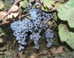 Виноград Оленьевский