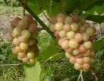 Виноград Паланга
