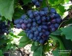 Виноград Победа