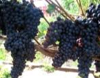 Виноград Шахтер