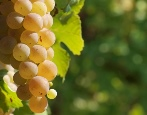 Виноград Юбилейный
