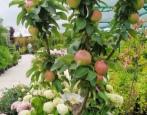 Колоновидная яблоня Алые Паруса