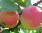 Яблоня Авенариус