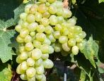 Виноград Чауш