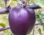 Яблоня Черный Бриллиант
