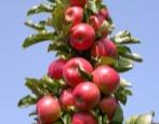 Колоновидная яблоня Джин