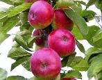 Колоновидная яблоня Есения