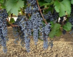 Виноград Фронтиньяк