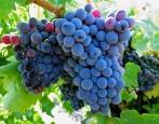Виноград Гренаш Нуар