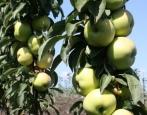 Колоновидная яблоня Икша