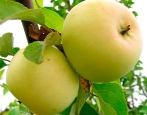 Яблоня Исеть белая