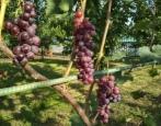 Виноград Изумление