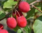 Яблоня Китайка Долго